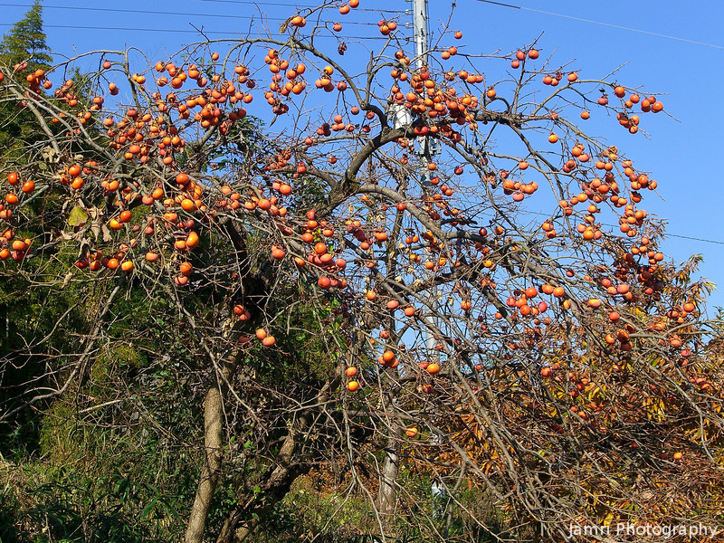 """Fruit of the Season<br /> Kaki (""""Persimmon"""") is a common fruit in Nagaokakyo during the mid to late autumn time."""