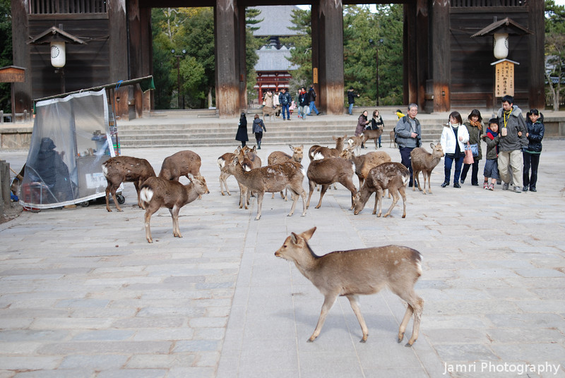 Yep there's plenty of Deer in Nara!<br /> More numerous than people, I think, but you won't get any venison at the restaurants around here, Deer are pretty much sacred.
