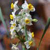 A Cascade of Daffodils.