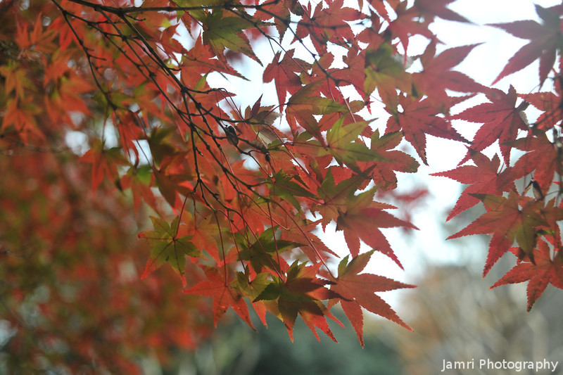 Backlit Leaves.<br /> At the Kyoto Imperial Palace Park.