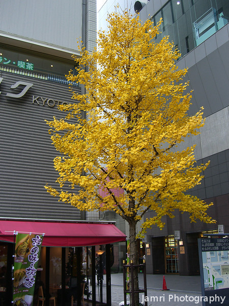 Yellow tree in the city.<br /> Went into Kyoto city again, and noticed this Ichou (Ginkgo) in full yellow glory. The ones in Nagaokakyo have already lost their leaves. I wonder if all the buildings keep it warmer, so it's colour change is later?