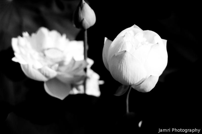 Lotus Blooms.<br /> At Nagaoka Tenmangu Shrine Park.<br /> Note Film Shot: Nikon F80 + 50f/1.8 + Orange Filter + Fujifilm Neopan Acros