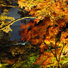 Night Colours.<br /> The Greens, Yellows, Oranges, and Reds of the Maple trees by night.
