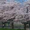 Towards the Park.<br /> Sakura in Morning Light.