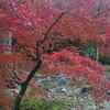 A Maple in a Garden.