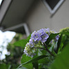 Hydrangea in front of a house.