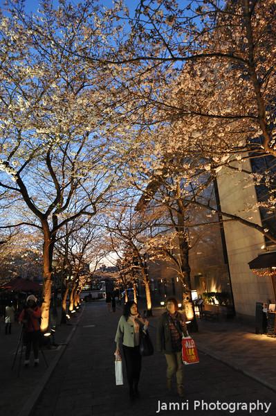 Hanami in Gion.<br /> Along Shirakawa-minami-dori.