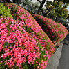 Some Late Azaleas.<br /> The cooler weather this year has extended the time period of the Azalea blooming.