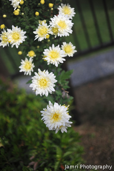 Light Yellow Chrysanthemums.