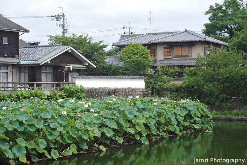 Lotus Patch in the Pond.<br /> At Nagaoka Tenmangu Shrine Park, In Nagaokakyo, Japan.