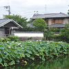 Lotus Patch in the Pond.<br /> At Nagaoka Tenmangu Shrine Park, In Nagaokakyo, Japan.