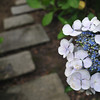 Hydrangea by some stepping stones.