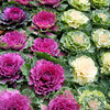 Ornamental Cabbages.
