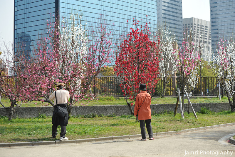 Photographing the peach blossoms.<br /> At Osaka Castle Park.