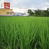 Rice Field in the Foreground, Yakiniku Restaurant in the Background.