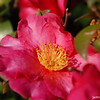 Camellia.<br /> From late November to early February there are plenty of Camellias to be seen in Nagaoakakyo.