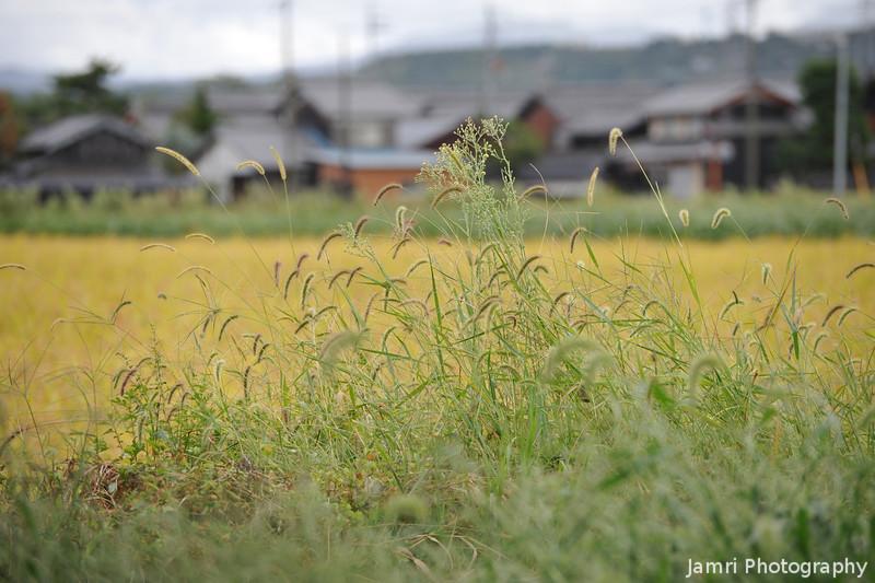 Nekojerashi and Rice Field.