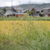 Nekojerashi and Rice Field.