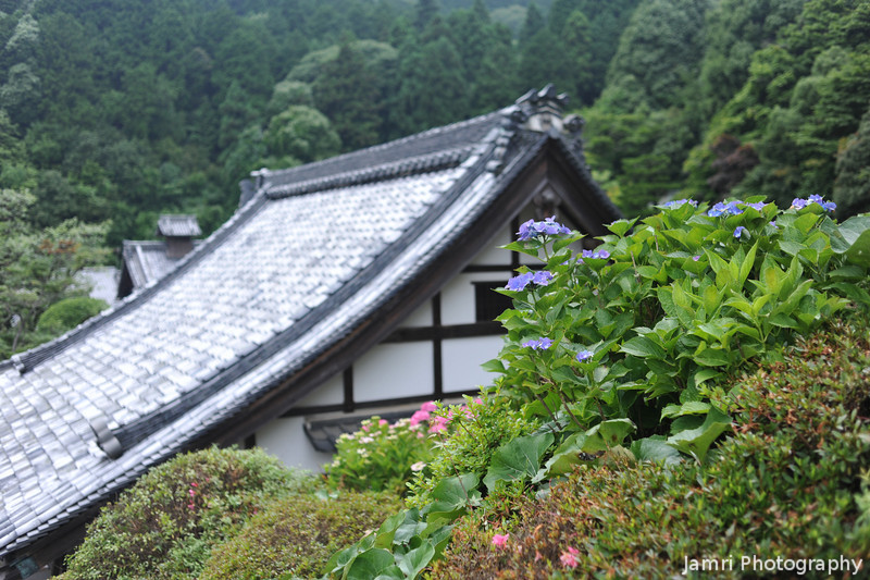 Hydrangeas and a Temple Roof.<br /> At Youkoku-ji in Nagaokakyo.