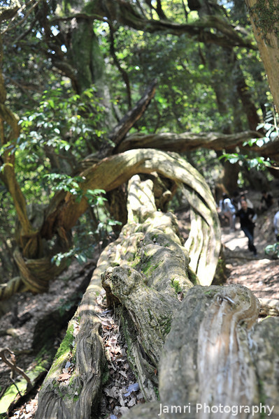 Gnarled Log (Portrait).<br /> That we came across on Mt. Kurama (Kurama-yama).