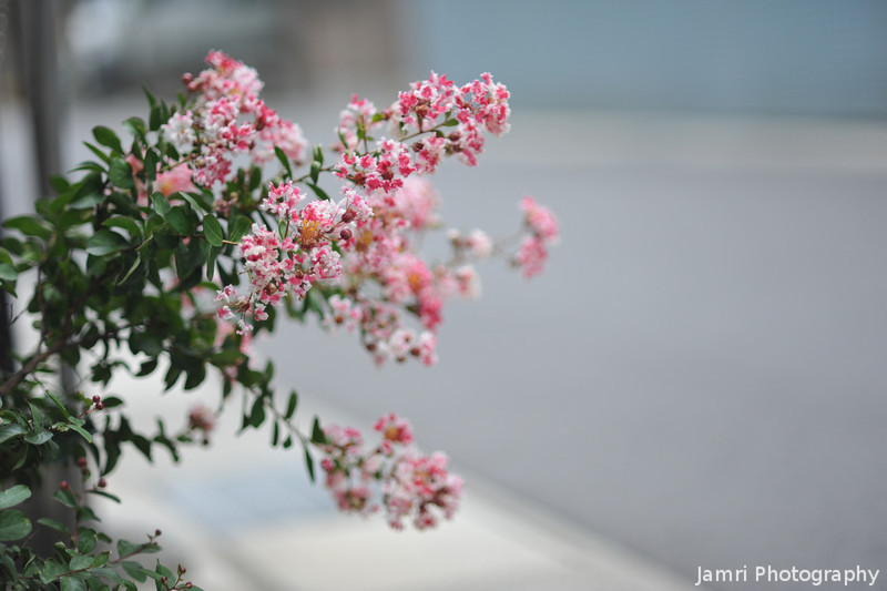 The Blooms at f/1.8.