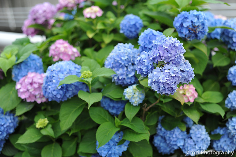 Hydrangeas by the Road.<br /> Walking along the road I came across a big bush of hydrangeas.