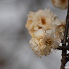 A bunch of Ume.<br /> Another close up of some Ume (Plum) Blossoms.