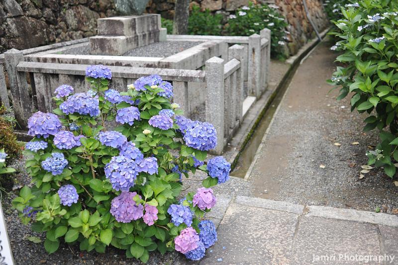 Hydrangeas by a Path.<br /> At Youkoku-ji in Nagaokakyo.