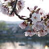 Catching the Light.<br /> Sakura blossoms in the evening catching a little bit of light.