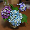 Hydrangeas.<br /> These hydrangeas have a bit of a story, see we received them on a Thursday (in cut form) from a students grandmother. By Sunday morning they were looking worse for wear. Ritsuko through the two rear ones (in this photo) but pruned of most of the leaves from the light blue ones. The light blue ones came back to life, then she retrieved the others from the bin and pruned them down and they came back to life in a couple of hours... A week after this photo was taken they are still going strong.