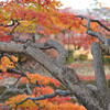 Branches of a Maple Tree.