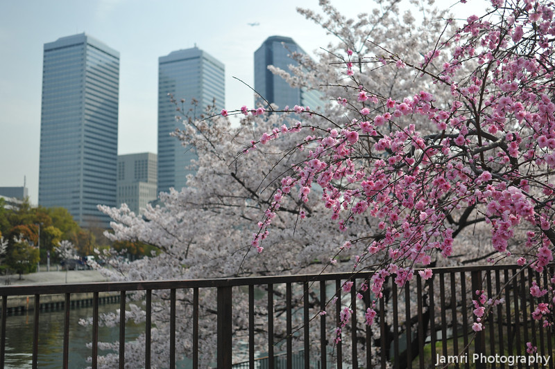 A Momo (Peach) and Sakura (Cherry) by the Waters' Edge.<br /> With Osaka Business Park in the Background, from Osaka Castle Park.