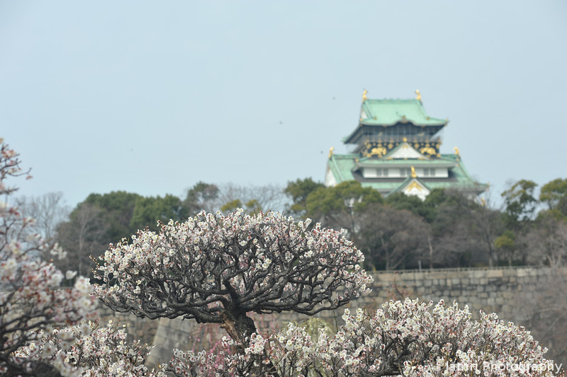 White Ume and Osaka-jo.