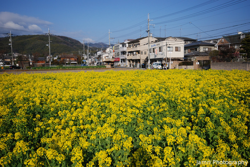 Spring is on the way.<br /> The cold of winter is almost over and the warmer weather of spring beckons with the blooming of the Nanohana.
