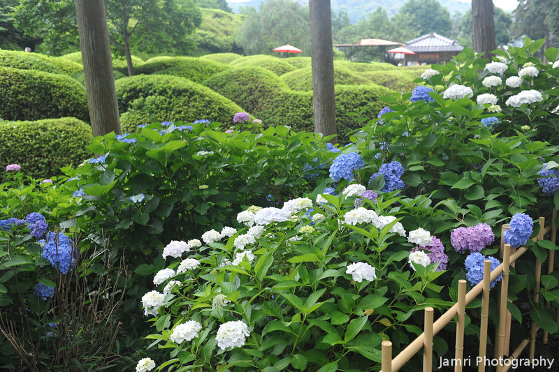 Hydrangeas along a fence.<br /> The hedges in the background are the Azaleas which this temple is also famous for.
