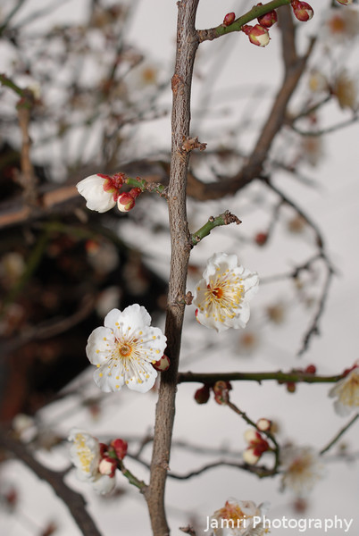 The first of the Spring Blossoms.<br /> The ume (plum blossoms) have started letting us know that spring is on the way again.