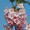 Pink and Against Blue.<br /> Another image of the pinker and early blooming Sakuras.