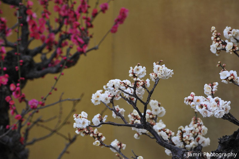 Like a traditional painting.<br /> White and pink bonsai Ume (plum) blossoms against a gold screen.