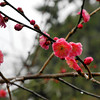 The start of the Plum Blossoms (Ume).<br /> The Ume were a little late to bloom this year, because of the extra cold winter. At Kitano Tenmangu Shrine in Kyoto.