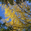 "Looking up at a big Ginkgo.<br /> Called ""Ichou"" in Japanese."