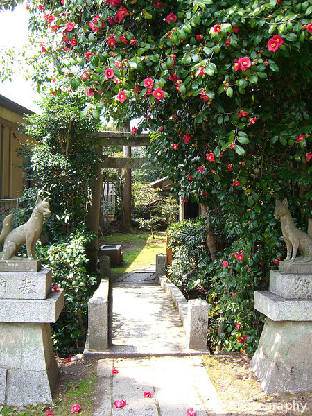 Entrance to the Side (Inari/Fox) Shrine.<br /> The flowers are a later blooming camellia.<br /> At Kaikonoyashiro Shrine, in Uzumasa, Kyoto.