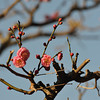 Pink Ume (Plum) Blossoms against the Blue Sky.
