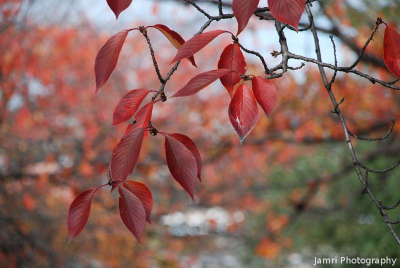 Red Leaves of Sakura.