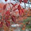 Red Leaves of Sakura.