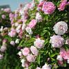 Pink Roses.<br /> At Itami Airport.