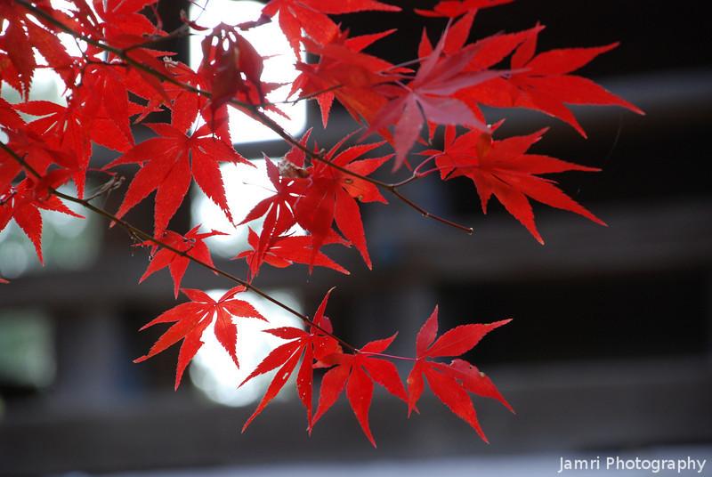 Red Maples.<br /> At Komyo-ji (a Buddhist Temple) in Nagaokakyo.
