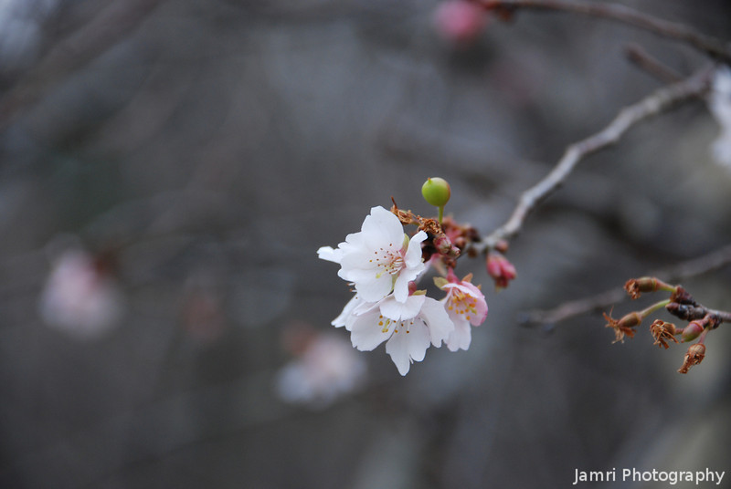 Winter Sakura.<br /> This is a special type of Sakura (Cherry Blossom) that blooms in both winter and spring.