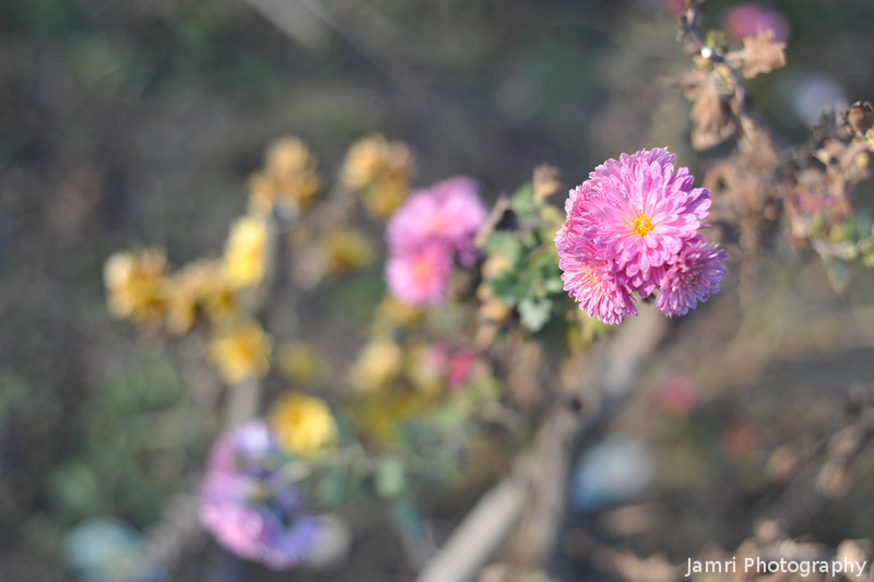 Holding out in the winter sun.<br /> A Chrysanthemum which bloom in early November was still going OK on January 3 in a very sunny spot.