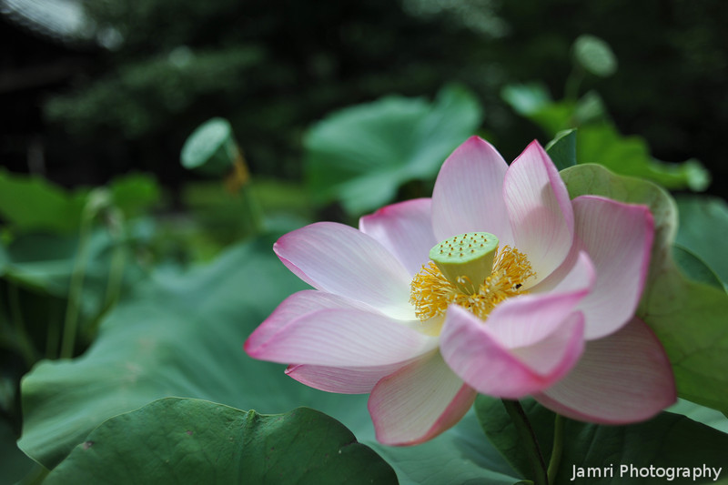 Up close to a Lotus.<br /> At Mimuroto-ji (a Buddhist Temple) near Uji, Kyoto.