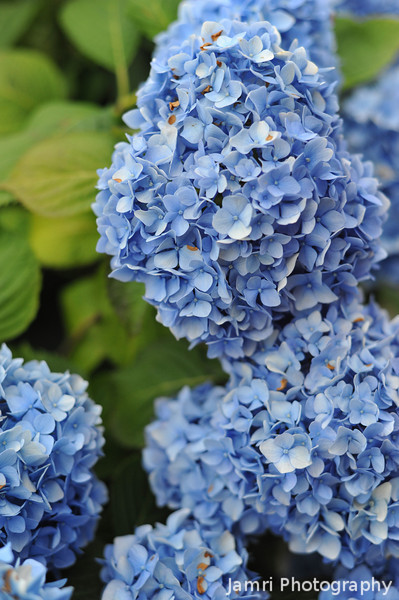 Bunches of Blue.